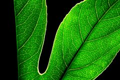 绿色叶子透明度 免版税库存图片