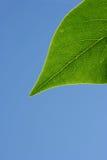 绿色叶子阳光 免版税图库摄影