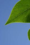 绿色叶子阳光 免版税库存照片
