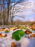 绿色叶子雪冬天 免版税图库摄影