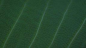 绿色叶子静脉纹理 叶子纹理特写镜头  图库摄影