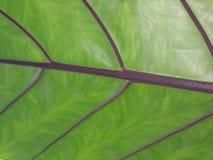 绿色叶子,美好的线分支结构  免版税库存图片