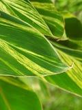 绿色叶子 美丽的线和曲线 免版税库存照片
