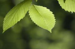 绿色叶子 库存图片