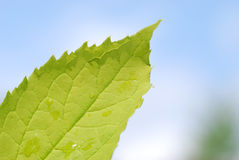 绿色叶子 免版税图库摄影