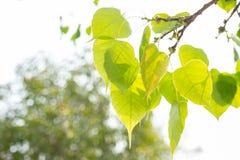 绿色叶子Pho叶子, Bo生叶有V字型或心脏形状 免版税库存图片