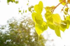 绿色叶子Pho叶子, Bo生叶有V字型或心脏形状 库存照片