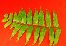 绿色叶状体 免版税库存图片