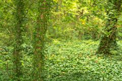 绿色叶茂盛树森林的深度 图库摄影