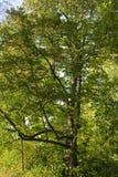 绿色叶茂盛结构树 免版税库存图片
