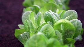 绿色叶茂盛莴苣 免版税图库摄影