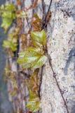 绿色叶茂盛藤 免版税库存图片
