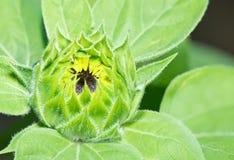 绿色向日葵年轻人 免版税库存照片