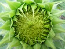 绿色向日葵 免版税库存图片