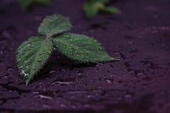 绿色和新鲜的黑莓叶子 免版税库存照片