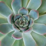 绿色和桃红色沙漠座莲多汁植物 免版税图库摄影