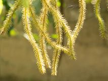 绿色和棕色huperzia squarrosa蕨在自然庭院离开 免版税库存照片