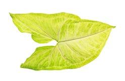 绿色和空白叶子 免版税库存照片