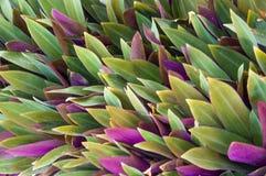 绿色和紫色上色剑叶子 免版税库存照片
