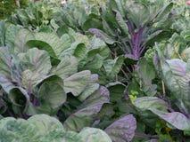绿色和紫色圆白菜 库存照片