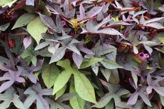 绿色和紫色地瓜秧背景 免版税库存图片