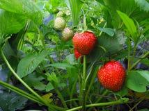 绿色和红色浆果灌木在庭院里 免版税库存图片