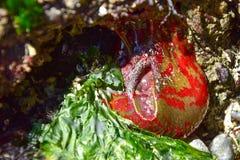 绿色和红色被绘的银莲花属风景 免版税库存照片