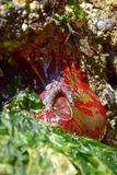 绿色和红色被绘的银莲花属 免版税图库摄影