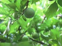 绿色和绿色李子 免版税库存照片