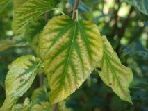 绿色和金子成脉络的叶子 免版税库存照片