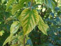 绿色和金子成脉络的叶子 免版税图库摄影