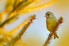 绿色和黄色歌手欧洲人Greenfinch, Carduelis虎尾草属,坐黄色落叶松属分支,有清楚的灰色背景 免版税库存照片