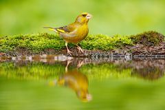 绿色和黄色歌手欧洲人Greenfinch, Carduelis虎尾草属,坐黄色落叶松属分支,有清楚的灰色背景 库存图片