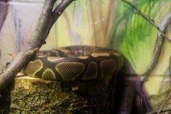 绿色和黑皇家Python 免版税库存图片