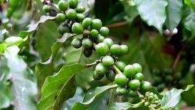 绿色咖啡豆特写镜头在一棵咖啡植物的在古巴 免版税图库摄影