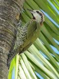 绿色啄木鸟 免版税图库摄影