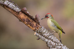 绿色啄木鸟 库存图片