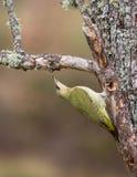 绿色啄木鸟 图库摄影