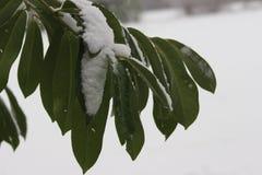 绿色在冬天离开 库存照片