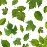 绿色在白色背景离开庭院果类植物 库存图片