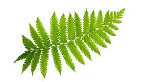 绿色在白色背景,道路离开蕨热带植物被隔绝 库存照片