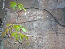 绿色在老破裂的墙壁的背景离开 免版税库存图片