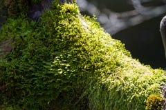 绿色地衣植物 免版税库存照片