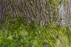 绿色地衣特写镜头在树干的 库存图片