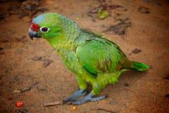 绿色地面鹦鹉含沙身分 库存图片