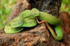 绿色坑蛇蝎 免版税图库摄影