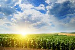 绿色域用玉米 蓝色多云天空 在天际的日出 免版税库存图片