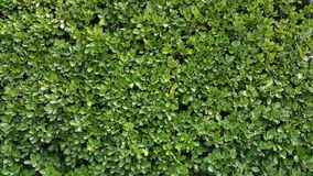 绿色墙壁树篱黄杨木潜叶虫 免版税图库摄影