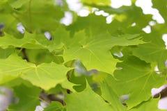 绿色夏天槭树在公园把生长留在 库存照片