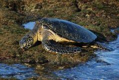 绿色夏威夷休息的海龟 库存图片
